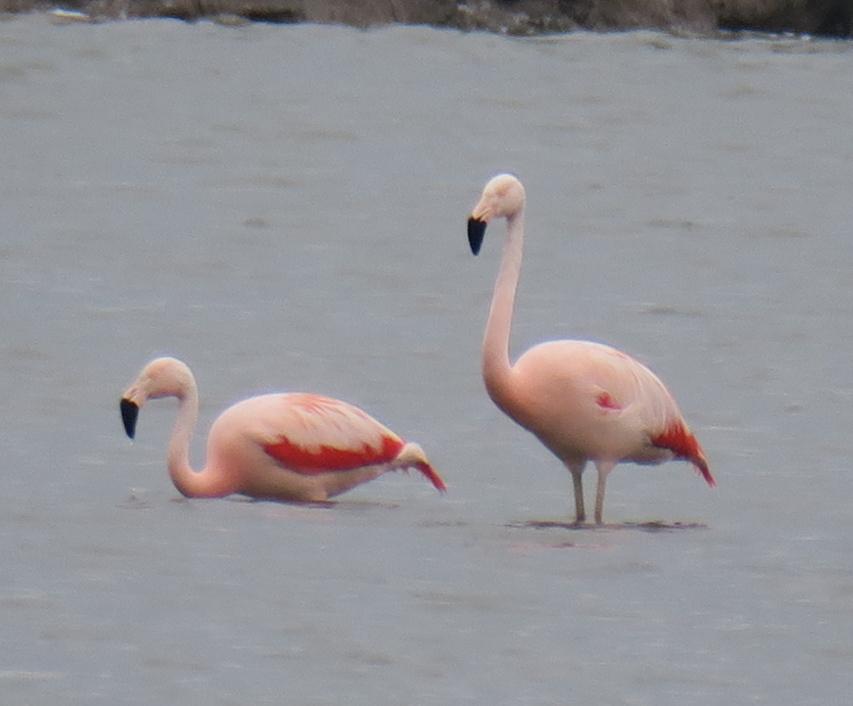 Flamingos Brake